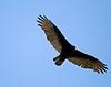 Vulture, Turkey<br /> Washington