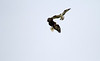 Osprey & Eagle