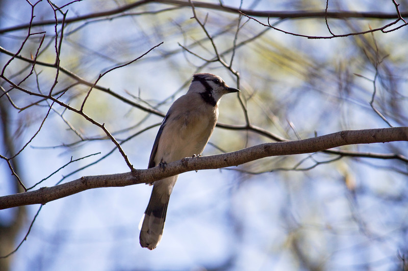 Bluejay<br /> <br /> Saw my first one in Maryland