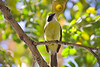 Social Flycatcher<br /> Mazatlan, Mexico