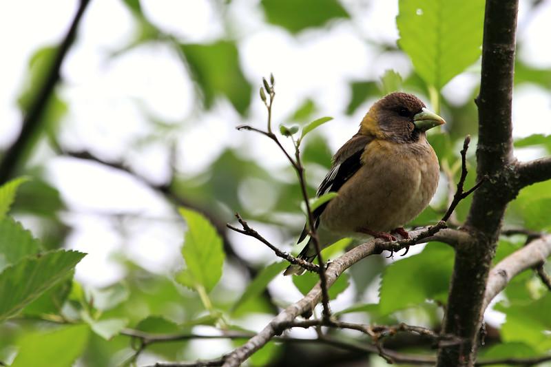 Evening Grosbeak, female