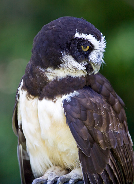 Owl, Spectacled<br /> Injured, in captivity at Seattle zoo