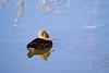 Merganser female in the wintry ice<br /> Ridgefield Wildlife Refuge, Washington