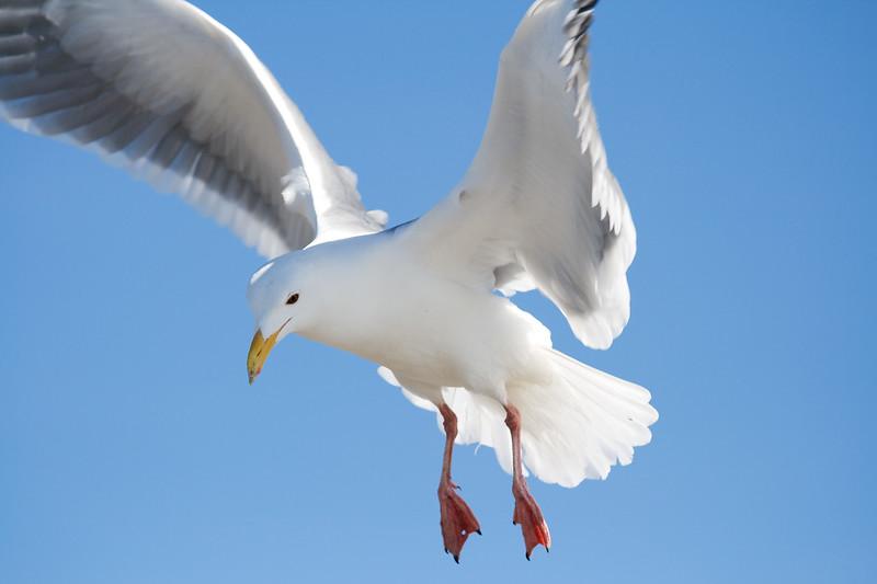 Gull, Glaucous-Winged<br /> Oregon or Washington coast