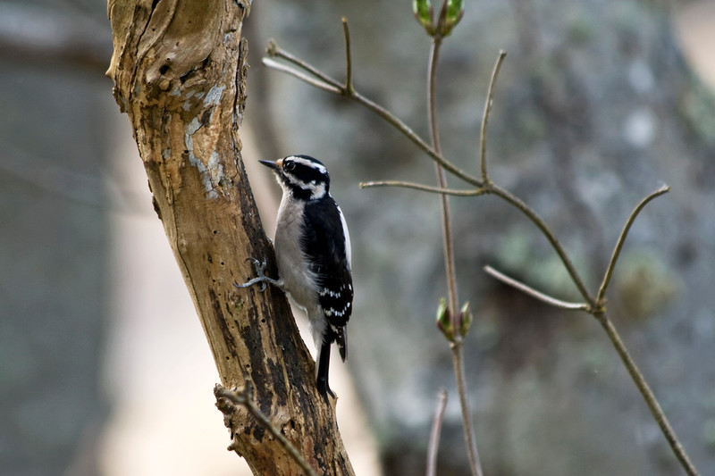 Woodpecker, Downy female ? (see comment below)<br /> Washington