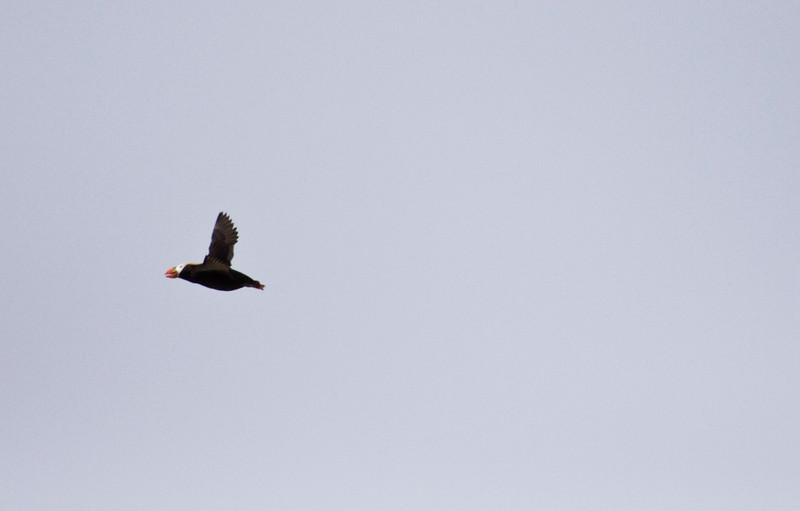 Puffin, Tufted<br /> Cannon Beach, OR.  I'm dying for a shot of these guys, but it's impossible to get close enuf...