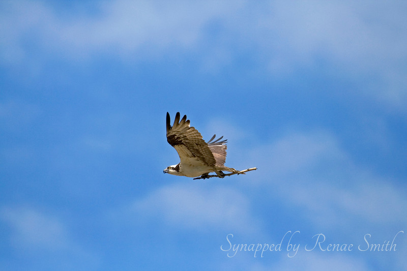 Osprey on a Stick!