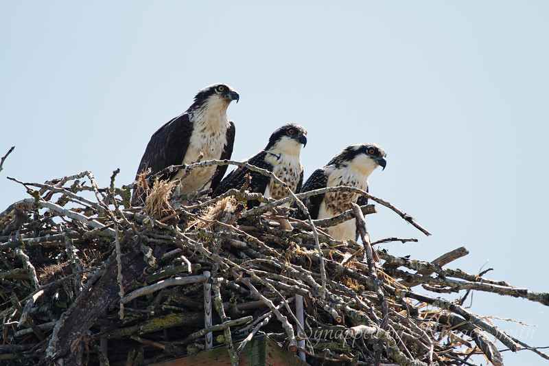 Mother and Baby Ospreys