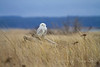 Snowy Owl People Watching