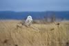 Snowy Owl People Watching