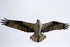 Osprey Flyover