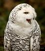 Snowy Owl Talk