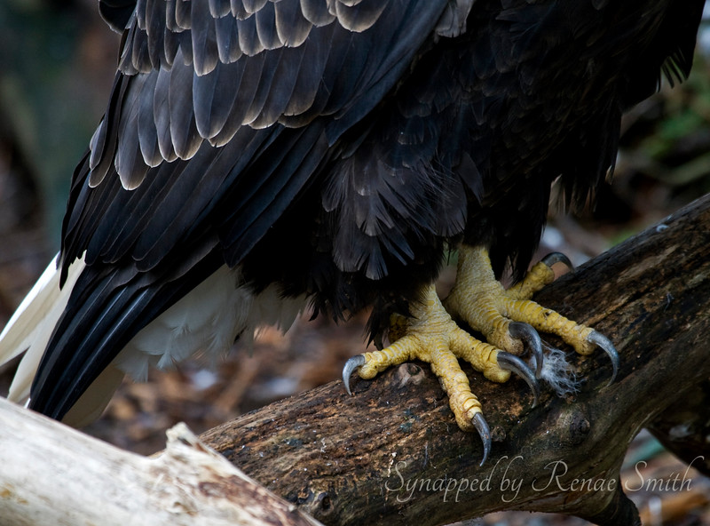 Bald Eagle Footsies