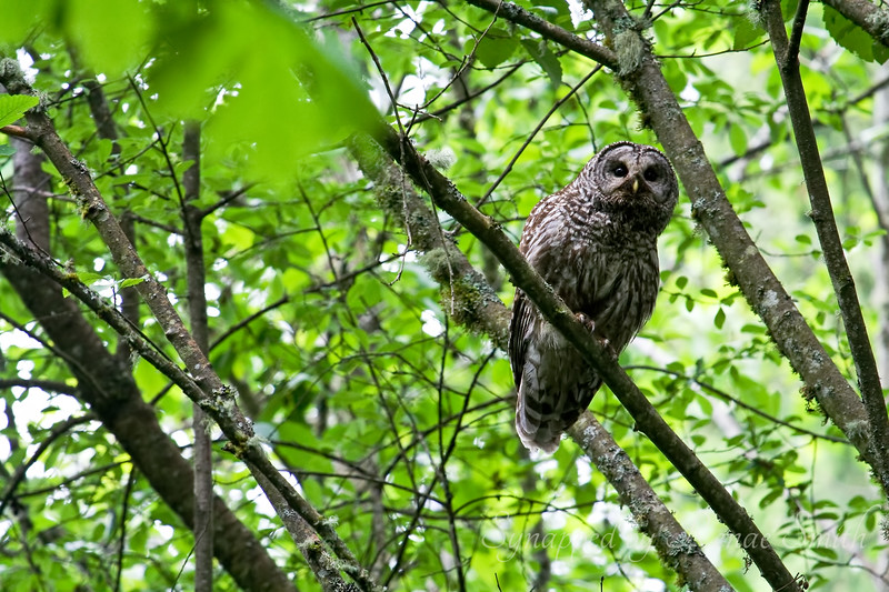 Mama Barred Owl