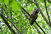 Mama Barred Owl