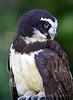 Spectacled Owl at a Glance