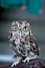 Screech Owl on the Glove