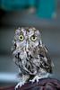 Screech Owl on the Glove