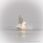 Common Eider