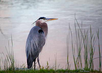Twilight blue heron