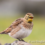 Horned Lark