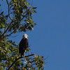 Bald Eagle in Townshend, Vermont