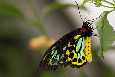Cairns Birdwing Butterfly, Ornithoptera primus (Male)