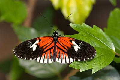 Postman Butterfly, Heliconius melpomene