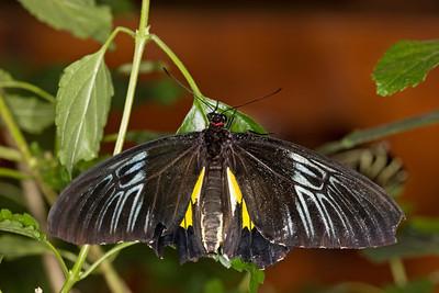 Birdwing Butterfly, Trides rhadamanthus