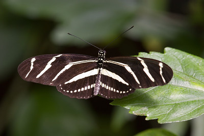 Zebra Longwing Butterfly, Heliconius charitonia