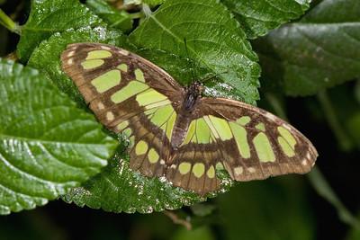 Malachite Butterfly, Siproeta stelenes