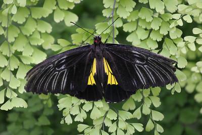 Birdwing Butterfly, Troides rhadamanthus