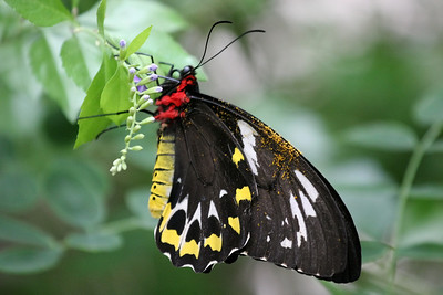 Female Cairns Birdwing Butterfly
