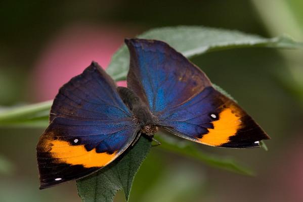 Indian Leaf Butterfly, Kallima paralekta