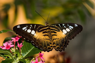 Brown Clipper Butterfly, Parthenos sylvia