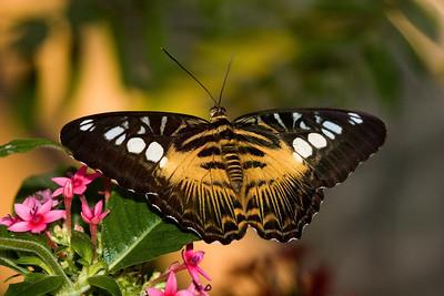 Brown Clipper Butterfly, Parthenos sylvia
