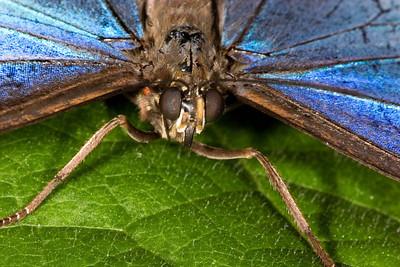 Blue Morpho Butterfly, Morpho peleides (Closeup)