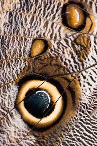 Owl Butterfly, Caligo eurilochus (Closeup)