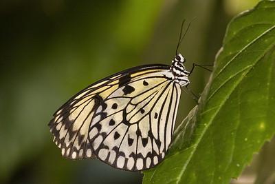 Rice Paper Butterfly, Idea leuconoe