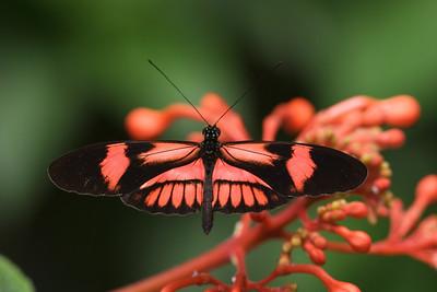 Postman Butterfly, Heliconius melpomene #2