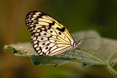 Rice Paper Butterfly, Idea leuconoe