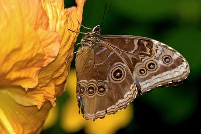 Blue Morpho Butterfly, Morpho peleides (Side)