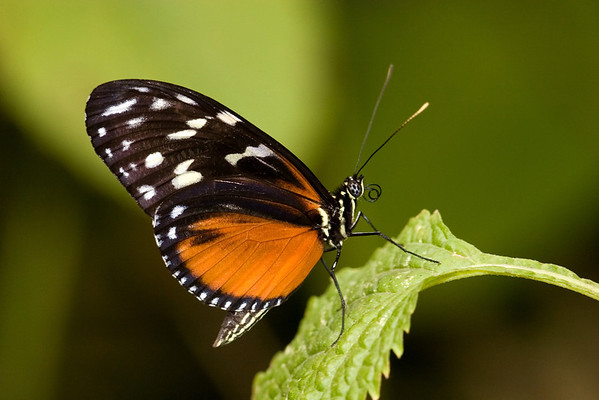 Tithoria tarricina Butterfly
