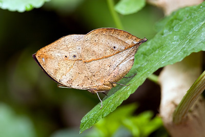 Indian Leaf Butterfly, Kallima paralekta