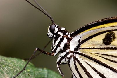 Rice Paper Butterfly, Idea leuconoe (Closeup)