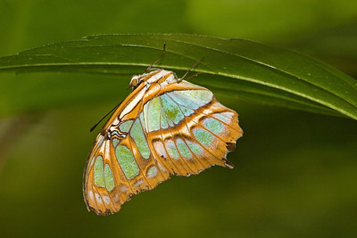 Malachite Butterfly, Siproeta stelenes (Side)