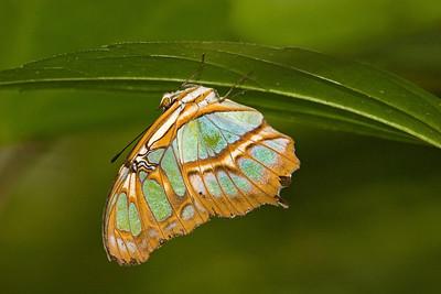 Malachite Butterfly, Siproeta stelenes (Side)