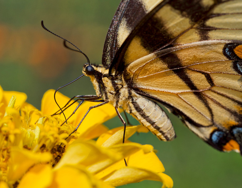 Eastern Tiger Swallowtail Butterfly Feeding