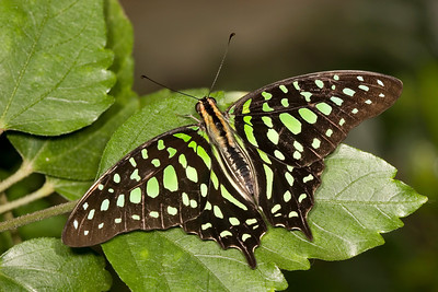 Tailed Jay Butterfly, Graphius agamemnon