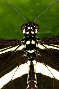 Zebra Longwing Butterfly, Heliconius charitonia (Closeup)